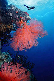 Gorgonian Fans, Coral Sea