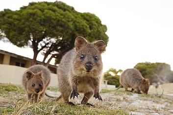 Quokkas on Rottnest Island